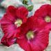 Çiçek Tohumu Gül Hatmi 1 Paket 30 Adet