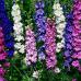 Çiçek Tohumu Saray Çiçeği Hezaren 1 Paket 30 Adet