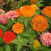 Çiçek Tohumu Zinna Zinnia Çiçeği 1 Paket 30 Adet Tohum Kirli Hanım Çiçeği Satışı