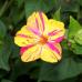 Çiçek Tohumu Akşam Sefası 1 Paket